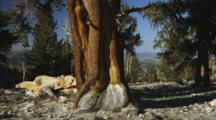 Ancient Bristlecone Pine Tree With Gnarley Trunk Filmed Against A Blue Sky