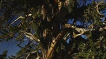 Ancient Bristlecone Pine Tree With Gnarley, Jagged Branches