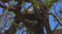 A Phainopepla Bird Approaches It's Nest