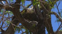 A Phainopepla Bird Approaches It's Nest And Feeds Its Chicks