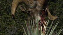 A Desert Big Horn Sheep Feeds On Some Banana Yucca Blossems, While Avoiding The Spiked Thorns Of The Plant.