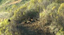 California Condors Feed On Carcass In Clearing Above Big Sur Coast