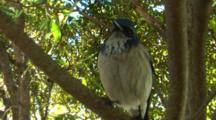 Crane Shot Through Tree To Scrub Jay Perched On Branch