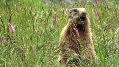 The marmot becoming aware of a danger gives the alarm
