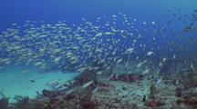 Moving School Of Boga Over Reef
