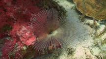 Split-Crown Feather Duster Worm