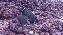 Rockmover Wrasse Hunting In Coral Rubble