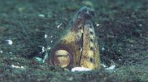 Black-Finned Snake Eel Getting Cleaned By Shrimp