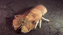 Slipper Lobster Traveling