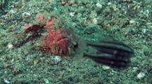 Pink Painted Frogfish Stalks Cardinalfish With Lure