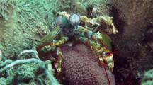Green Smasher Mantis Shrimp With Eggs