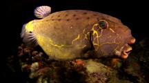 Yellow Boxfish (Adult)