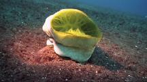 Giant Tunicate