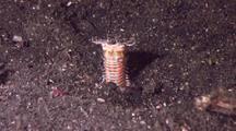 Bobbit Worm Lying In Wait