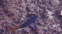 Yellowtail Fusilier Gets Cleaned By Striped Cleaner Wrasses