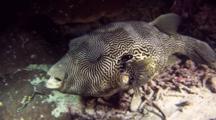 Map Pufferfish At Night