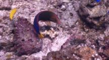 Yellowtail Coris Turns Over Rocks Hunting And Feeding