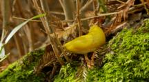 Banana Slug Slithers Across Forest Materials
