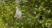Snowy Egrets Mid Shot As It Sits And Sways On Mangrove Tops