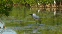 Wood Stork Foraging In Mangrove, Lifts Wing, Mid Shot