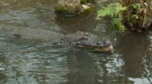 American Alligator, Turns Head To Eat In Shallow Water, Backs Up