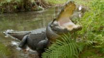 American Alligator, Large Specimen In Defensive Posture, Mouth Open, Lunging Back