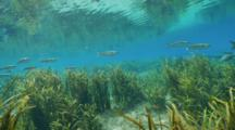 Striped Mullet Underwater Over Sea Grass, Reflective Water