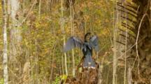Track In, Snake Bird, Aka American Anhinga, Closes Its Wings, Moves Head Up And Down