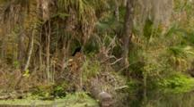 Track In, Snake Bird, Aka American Anhinga, It Turns On Branch