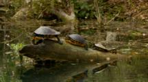 Coastal Cooters, Three Fresh Water Turtles, Camera Drifts Closer To Reptiles
