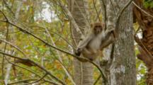 Monkey, Rhesus Macaque Adult On Thin Tree Branch Looking Around, Exits Frame Upward