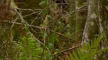 Monkey, Rhesus Macaque Exits Tree, Walks Away On Ground