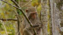 Monkey, Rhesus Macaque On Tree Looks At Its Hand, Climbs Out Of Frame Upward