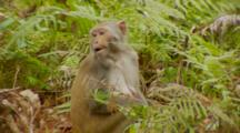 Monkey, Rhesus Macaque On Ground, Eating, Scratches Its Back, Walks Out Of Frame