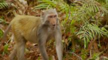 Monkey, Rhesus Macaque On Ground, Looks Away, See Its Red Butt