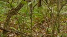 Monkey, Rhesus Macaque On Ground, Walking Across Jungle Floor
