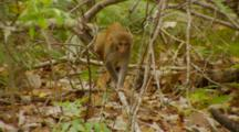 Monkey, Rhesus Macaque Baby On Tree Branch, Jumps To Ground