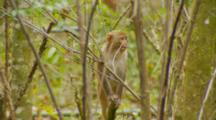 Monkey, Rhesus Macaque Baby On Tree Branch, Jumps Off