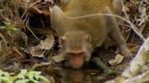 Monkey, Rhesus Macaque Mother Sips Water From Rivers Edge, Walks Away