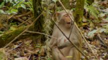 Monkey, Rhesus Macaque Mother On Ground Feeding On Berries, Sounds Alarm For Danger