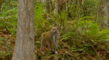 Monkey, Rhesus Macaque Mother On Ground Checks To See If Habitat Is Safe