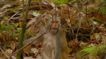 Monkey, Rhesus Macaque Mother On Ground Feeding, Sounding Alarm