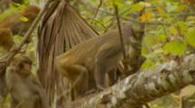 Monkey, Rhesus Macaque Mother On Tree Branch, Youngster And Baby Jump Into Shot