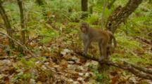 Monkey, Rhesus Macaque Baby Standing On Edge Of Tree Branch