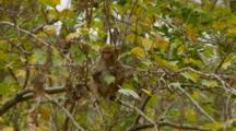 Monkey, Rhesus Macaque Youngster In Tree Looking Around