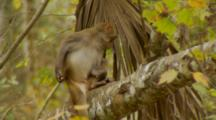 Monkey, Rhesus Macaque Scratches Its Butt, Springs Out Of Frame!