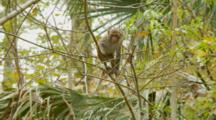 Monkey, Rhesus Macaque Young Mammal Balances On Tree Branch