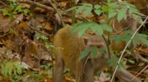 Monkey, Rhesus Macaque Mother Quickly Runs Away