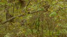 Monkey, Rhesus Macaque Ultra Wide At Rest In Forest