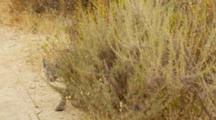 Bobcat Walks Through Heavy Brush And Appears At Dirt Trail Clearing